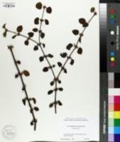 Cercidiphyllum japonicum image
