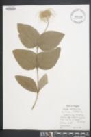 Clematis albicoma image