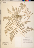 Pteridium aquilinum subsp. caudatum image