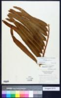 Acrostichum danaeifolium image