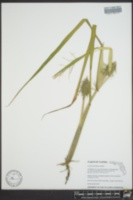 Luziola subintegra image