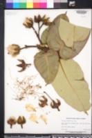 Duabanga grandiflora image