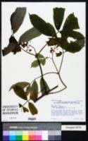 Sambucus racemosa image