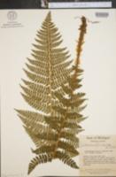 Polystichum braunii var. purshii image