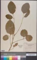 Image of Polyscias scutellaria