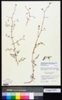 Paronychia americana image