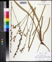 Image of Lobelia floridana