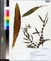 Rumex palustris image
