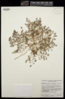 Chamaesyce petrina image
