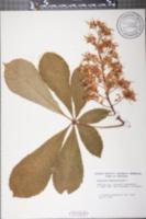Aesculus hippocastanum image