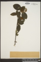 Image of Cornus occidentalis