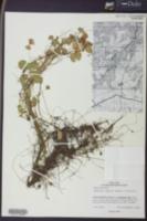 Marsilea vestita image