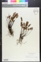 Image of Onychium densum