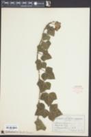 Hedera helix image