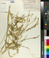 Image of Astragalus galegiformis