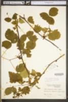 Rubus russeus image