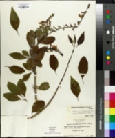 Image of Duranta serratifolia
