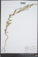 Atriplex subspicata image