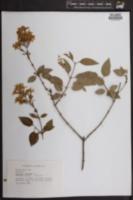 Image of Syringa persica