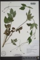 Thaspium trifoliatum image