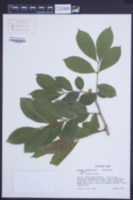 Blighia sapida image