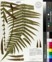 Image of Thelypteris maemonensis