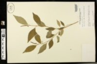 Image of Sebastiania fruticosa
