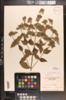 Pycnanthemum beadlei image