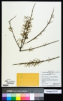 Image of Acacia tetragonophylla