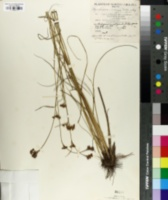 Image of Rhynchospora microcarpa
