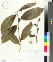 Image of Alangium javanicum