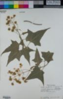 Montanoa leucantha image