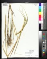Sporobolus alterniflorus image