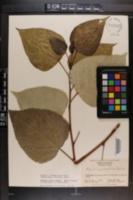 Populus × jackii image