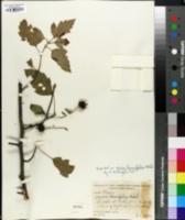 Image of Malus lancifolia