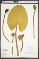 Image of Nymphaea lutea