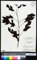 Image of Chamaecrista stillifera