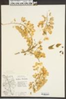 Wisteria floribunda image