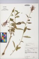 Lobelia cardinalis image