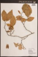 Image of Eucommia ulmoides