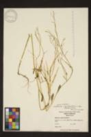 Raphanus raphanistrum subsp. raphanistrum image