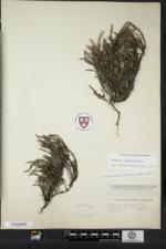 Hudsonia tomentosa image
