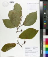 Image of Fortunearia sinensis