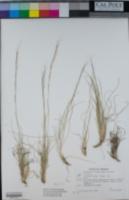 Aristida purpurea var. nealleyi image