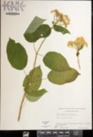 Hydrangea arborescens image