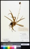 Luzula sylvatica image