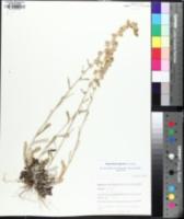 Image of Gamochaeta argyrinea