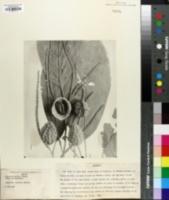 Image of Calatola mollis