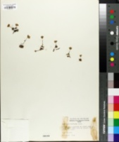 Androsace carinata image