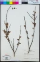 Quillaja saponaria image